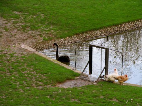 Black swan, cisne negro, pamplona, spain